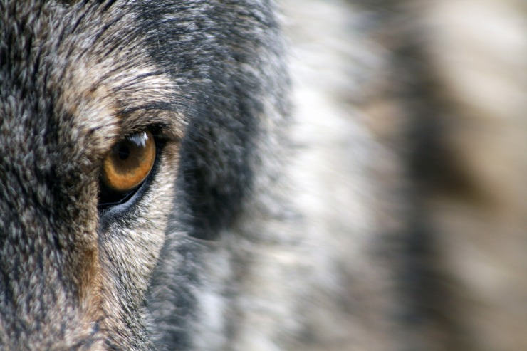 wolf-1352242_1920