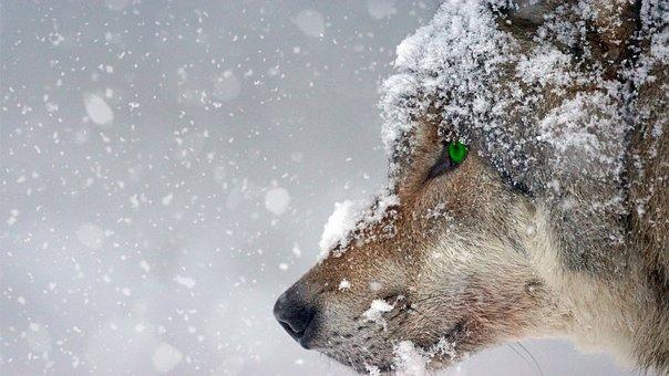 wolf-2043464__340